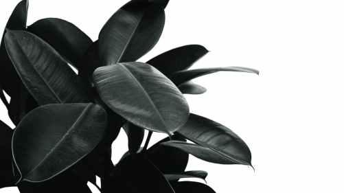 monochrome photo of rubber plant